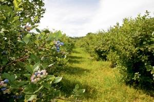 Virginia-based Gladstone Land Corp. recently purchased a 119-acre blueberry farm in Covert, Mich. in Van Buren County and is pursuing other deals across the state for agricultural lands with existing row crops. The publicly traded real estate investment trust is targeting older farmers looking for liquidity with no succeeding generation in place. After the purchase, the company leases the land to other farm operators.