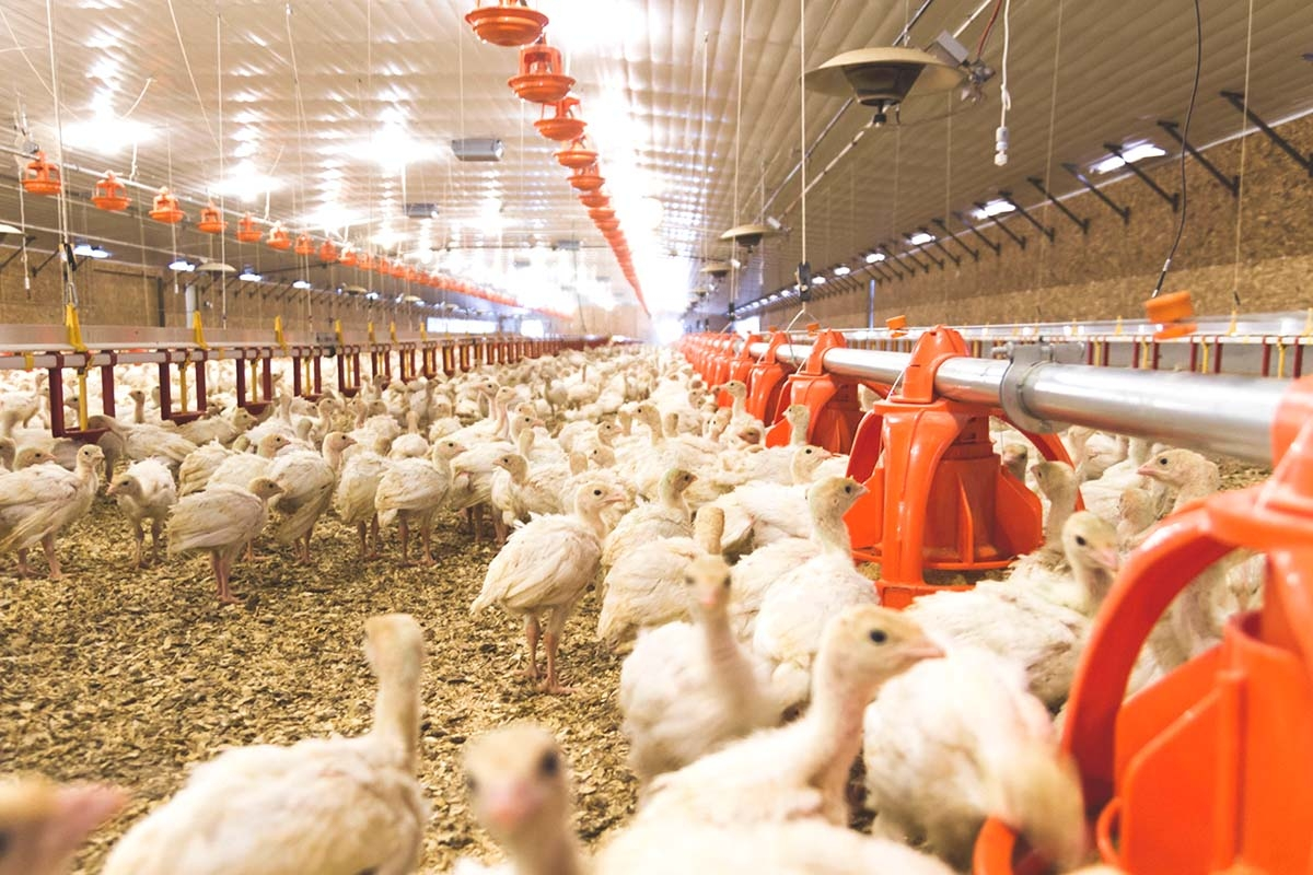 Turkey farms in West Michigan are struggling because most of their products typically end up in foodservice distribution channels, which have been disrupted because of the state-mandated closure of restaurants to curb the spread of the coronavirus.