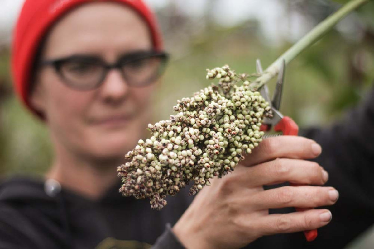 Scott-based Tillers International, a Kalamazoo County nonprofit that provides farmers in developing countries with resources on farm animals and production techniques, supplied sorghum to Arcadia Brewing Co. to test the ingredient in beer.