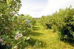Out-of-state REITs have targeted West Michigan's blueberry farms in recent years, including two deals for $3.7 million this year involving Denver-based Farmland Partners Inc.