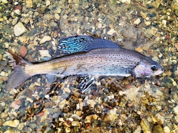 The Michigan Arctic Grayling Initiative is studying ways to reintroduce the species in select rivers in the northern Lower Peninsula. Grayling were extirpated from Michigan in the mid 1930s.