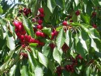 Cherry Growers Inc. enters Chapter 11 bankruptcy protection
