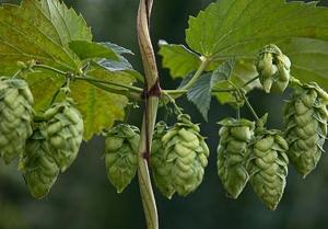 New nonprofit to advocate for Michigan's hop growers