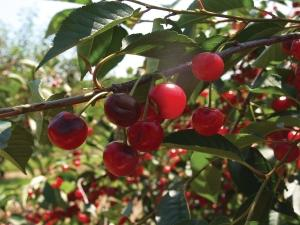 Initial estimates suggest that 60 percent of Northern Michigan's cherry crop was damaged in some form as a result of golf-ball-sized hail and high winds from a severe storm in early July. Production losses related to severe weather, which have been more prevalent this season compared to previous years, have been compounded by near drought-like conditions throughout June and early July.